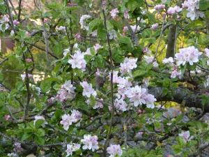 appleblossomextra